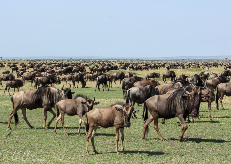 wildebeest covering the Serengeti plains on an East African safari