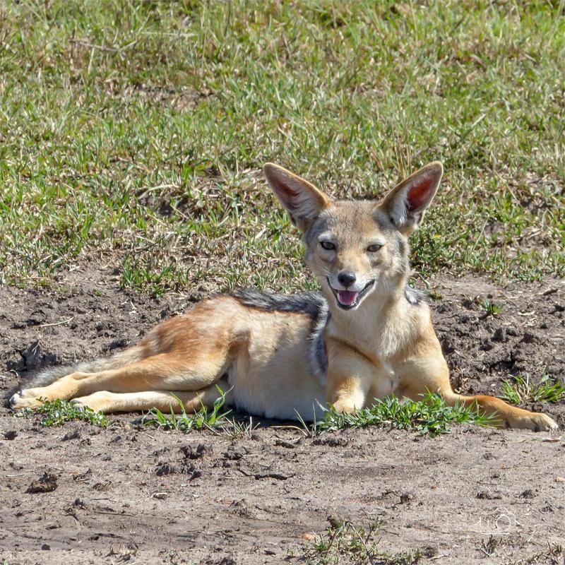Black backed Jackal - safari in Tanzania - Ngorongoro Crater