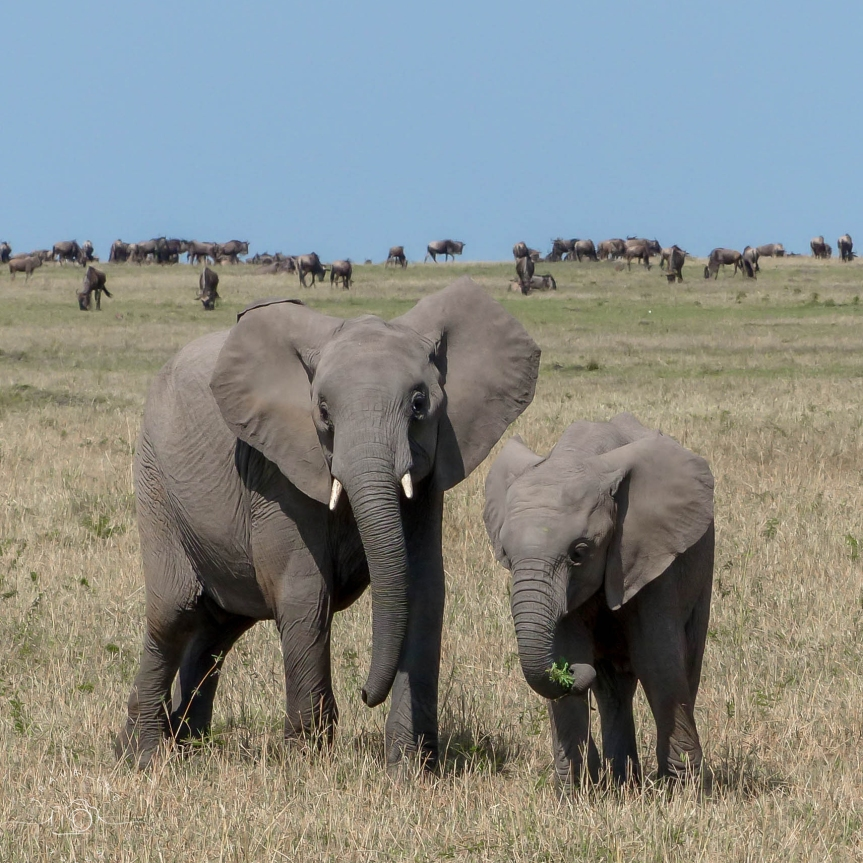 Young elephants on the savannah during the Great Migration