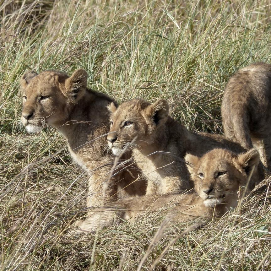 lion cubs on a safari in Kenya