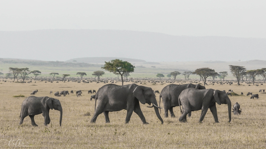 Elephants on the savanna in Kenya East Africa safari
