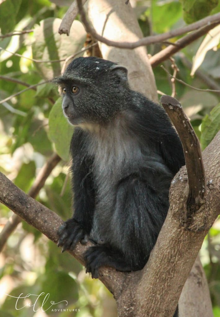 Manyara monkey AKA blue monkey in Tanzania safari
